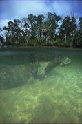 River Scenes Posters - Florida Manatee, Crystal River, Florida Poster by Joe Stancampiano