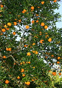 Orange And Green Framed Prints - Florida Oranges Framed Print by Carol Groenen
