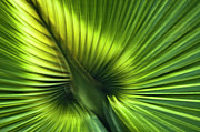 Backlit Prints - Florida Palm Frond Print by Carolyn Marshall
