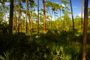 Pine Trees Metal Prints - Florida Pine Forest Metal Print by David Lee Thompson