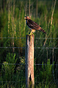 Preditor Metal Prints - Florida Red-Shouldered Hawk Metal Print by Ronald T Williams