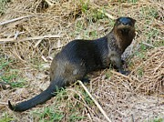 Lynda Dawson-youngclaus Photographer Prints - Florida River Otter Print by Lynda Dawson-Youngclaus