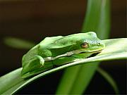Amphibians Posters - Florida Tree Frog Poster by Ned Stacey