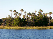 Sabal Palm Trees Prints - Florida Waterscape Print by Judy Wanamaker