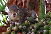 Judy Swerlick - Floridian Squirrel