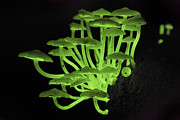 Danum Valley Conservation Area Prints - Flourescent Fungus Print by Thomas Marent