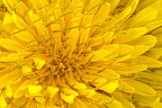 Scanography Photos - Flower - Dandelion by Mike Savad