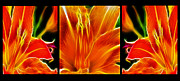 Orange Tiger Lily Prints - Flower - Lillies - Abstract Print by Paul Ward