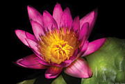 Ruby Acrylic Prints - Flower - Lotus - Nymphaea  Ruby - Passion Acrylic Print by Mike Savad