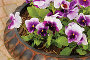 Purple Pansy Prints - Flower - Pansy - Purple Pansies Print by Mike Savad