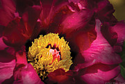 Red Spring Flower Metal Prints - Flower - Peony Metal Print by Mike Savad
