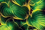 Green Leaves Posters - Flower - Plant - Hosta Leaves Poster by Mike Savad