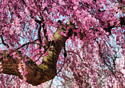 Sakura Photo Posters - Flower - Sakura - Finally its Spring Poster by Mike Savad