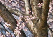 Cherry Tree Prints - Flower - Sakura - Spring Blossom Print by Mike Savad
