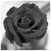 Black Rose Prints - Flower 4 Print by Mike McGlothlen
