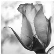 Tulip Metal Prints - Flower 5 Metal Print by Mike McGlothlen