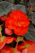 Blue Begonias Prints - Flower 67 Print by Joyce StJames