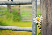Stuck Prints - Flower Between Fence And Wood Print by Enjoy it!