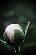 Flower Design Photos - Flower Bud Before Bloom by Darcy Michaelchuk