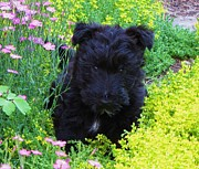Scottish Terrier Puppy Prints - Flower Child Print by Michele Penner