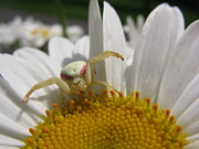 Stephanie Wenzl - Flower Crab Spider