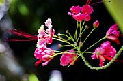 Flower Digital Painting Print by Pravine Chester