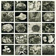 Flower Favorites Bw Print by Gwyn Newcombe