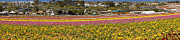 Mick Anderson - Flower Fields at Carlsbad