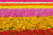 Red Spring Flower Metal Prints - Flower Fields Carlsbad CA Giant Ranunculus Metal Print by Christine Till