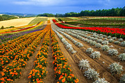 Flower Order Posters - Flower Fields In Biei During Summer Poster by Agustin Rafael C. Reyes