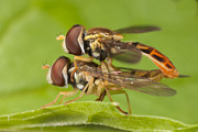 Bug - Flower Flies Mating by Clarence Holmes