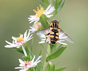 Syrphid Fly Framed Prints - Flower Fly Framed Print by Penny Meyers