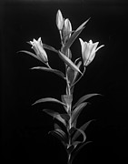 Large Format Originals - Flower by George Nazirov