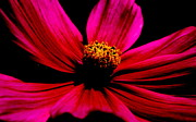 Flower Framed Prints Photos - Flower in Red by Tam Graff
