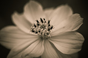 Carole Murray - Flower in Sepia