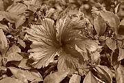 Floral Digital Art Originals - Flower In Sepia by Rob Hans