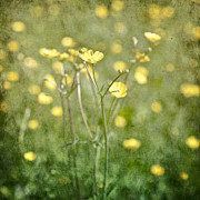 Texture Flower Posters - Flower of a buttercup in a sea of yellow flowers Poster by Joana Kruse