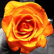 Floral Art - #flower #orange #rose #pretty #jj by Kelly Clemente