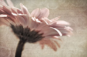 Gerbera Art - Flower Poetry by Viaina