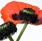 Flora Tapestries Textiles Posters - Flower poppy in studio Poster by Bernard Jaubert