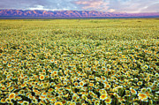 Carrizo Plain Prints - Flower Power Print by Greg Clure