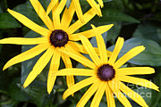 Guides Metal Prints - Flower Rudbeckia Fulgida In Full Metal Print by Ted Kinsman
