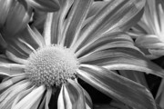 Black And White Digital Art Prints - Flower Run through It Black and white Print by James Bo Insogna
