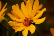 Yellow Prairie Photos - Flower by Sherri Williams