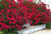 Impatiens Flowers Photos - Flower stairs by Cheryl Cencich
