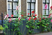 Hollyhocks Photos - Flower Street by Sophie Vigneault