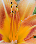 Orange Tiger Lily Prints - Flower Sunburst yellow and orange Print by Paul Ward