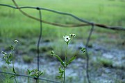 Barbed Wire Fences Prints - Flower through the Fence Line Print by Theresa Willingham