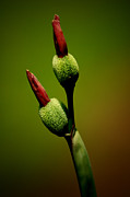 Flowerbud Framed Prints - Flowerbuds Framed Print by David Weeks