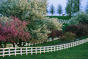 Fences Prints - Flowering Crab Apple Trees Bloom Print by Melissa Farlow